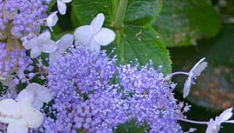 Blue Bunny Hydrangea monthly plant care