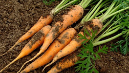 Carrot Plant Care Reminders