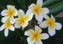 Plumeria Monthly Plant Care