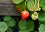 Strawberries Plant Care