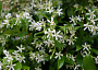 Star Jasmine Monthly Plant Care