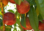 Nectarine Monthly Plant Care
