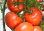 Tomato Monthly Plant Care