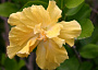 Hibiscus Monthly Plant Care