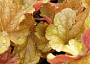 Heuchera spp Monthly Plant Care