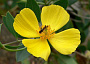 Island Bush Poppy Monthly Plant Care