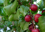Hollyleaf Cherry Monthly Plant Care - Photo courtesy Wikipedia Commons