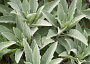Salvia apiana (California White Sage)  Plant Care Reminders