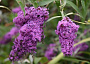Buddleia Monthly Plant Care