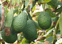 Avocado Monthly Plant Care