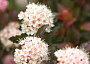 Coppertina Ninebark Plant Care Reminders