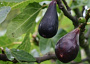 Fig Monthly Plant Care