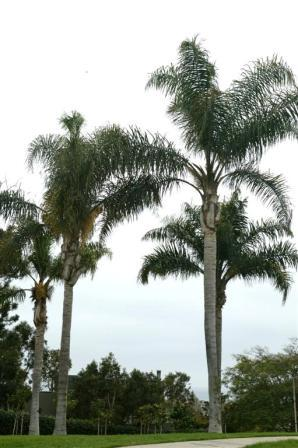 Queen_Palms_park_Large